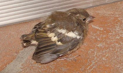Nascondeva 82 uccellini in casa, allevatore denunciato