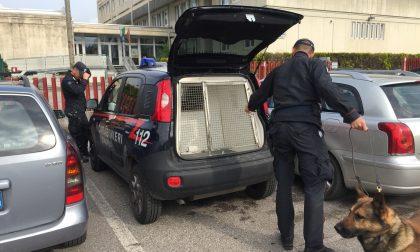 Liceo Medi, terzo controllo anti-droga dei Carabinieri