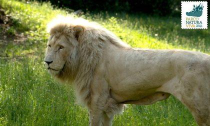 """E' morto Blanco, il leone """"candido"""" più vecchio d'Europa"""