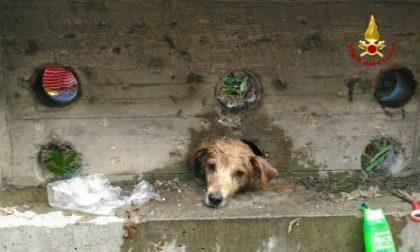 Cane incastrato nel muretto, intervengono i pompieri