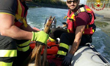 Salvato un capriolo nel canale Biffis