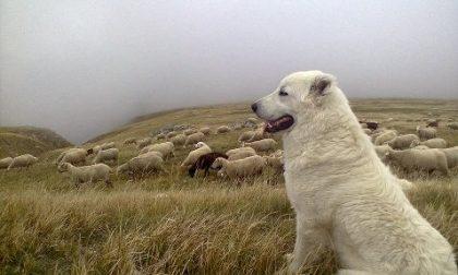 Lupi, consegnati otto cani pastore agli allevatori
