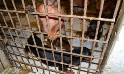 Cani malnutriti e malati, rinviati a giudizio i titolari di un allevamento a Isola della Scala