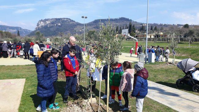 Piantumati 230 olivi a Bardolino