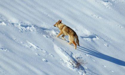 Lupo della Lessinia l'animale catturato è un cane