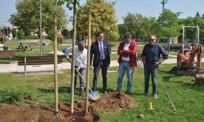 Nuovi alberi a Verona