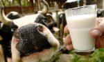 Quote latte fatali: indagine per truffa a Brescia su 37 allevatori