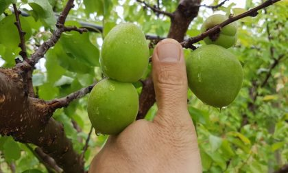 Allarme Confagricoltura per la produzione di frutta nel veronese