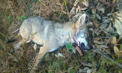 Lupo ucciso in Lessinia ira di Zanoni