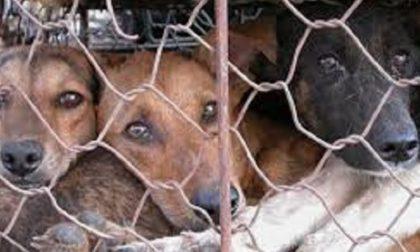 Allevamento lager a Verona, 300 animali in condizioni pessime