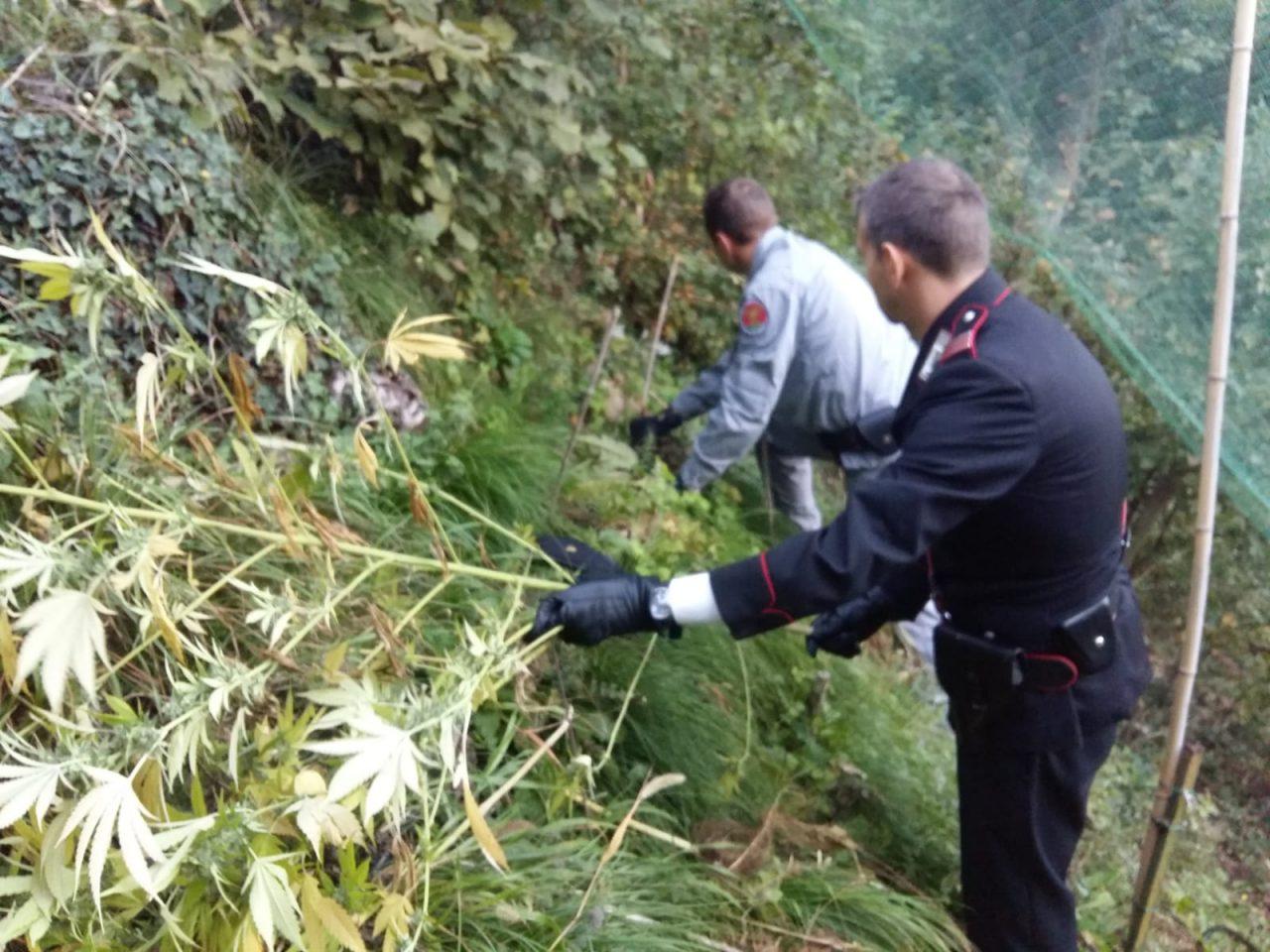 Operazione antidroga: coltivatori arresti. I carabinieri di Tregnago, insieme alla Forestale, hanno arrestato in flagranza una coppia di Tregango.
