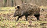"""Prorogata la caccia al cinghiale in provincia di Verona, Corazzari: """"Danneggiano ambiente e agricoltura"""""""