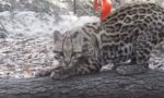 Ocelot: il felino a rischio per la sua bellezza