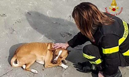 Cane scappa di casa e finisce nel canale, salvato dai vigili del fuoco