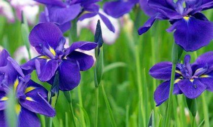 Iris tradizione del veronese che ha sfamato molte famiglie