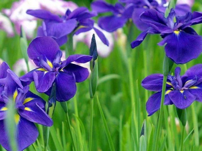 iris tradizione del veronese
