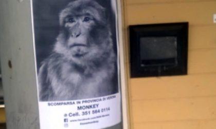 Una scimmietta si aggira nelle campagne veronesi?