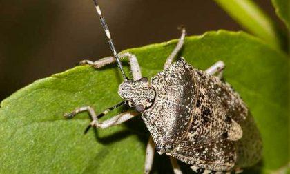 Cimice asiatica, in arrivo il finanziamento per le reti anti insetto