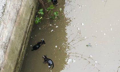 Gattini annegati nel fosso a Monteforte d'Alpone