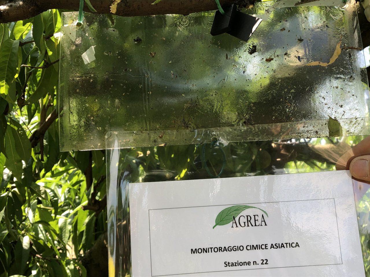La cimice asiatica ogni anno danneggia in modo grave le coltivazioni frutticole