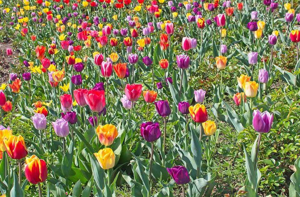 """Bardolino con oltre 50mila tulipani si è classificato """"Comune fiorito più bello d'Italia""""."""