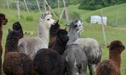 Lupi attaccano e uccidono alpaca sul Monte Baldo