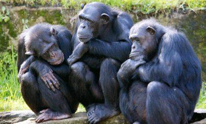 Fuggono tre scimpanzè al parco natura viva, apertura rinviata