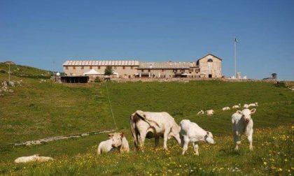 Donna incornata da una mucca in Lessinia