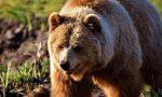 Dalla Lessinia al Garda fino in Trentino: catturato l'orso M49