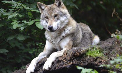 Predazione da lupo a Ferrara di Monte Baldo, uccisi capretti e agnelli