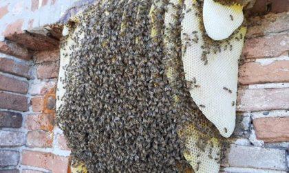 Recuperato lo sciame di api dal campanile di San Pietro di Morubio, intervento laborioso – Gallery