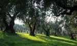 """Coldiretti: """"Un piano per salvare gli uliveti, olio d'oliva veronese nel mirino dei dazi di Trump"""""""