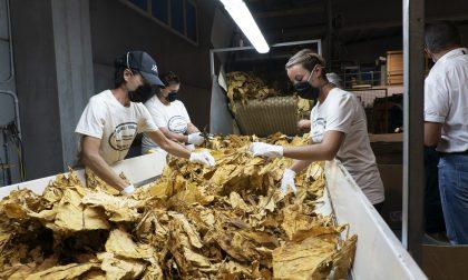 Provincia di Verona è il principale polo tabacchicolo della Regione, prodotte oltre 12mila tonnellate