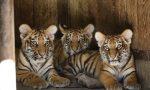 Parco Natura Viva: prima volta fuori dalla tana per i tre tigrotti siberiani FOTO E VIDEO