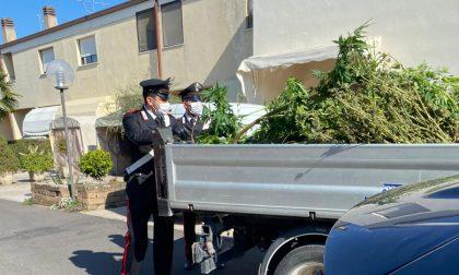 """I vicini sentono un """"insolito aroma"""" nell'aria: scoperti 3 alberi di marijuana, nei guai un 48enne"""