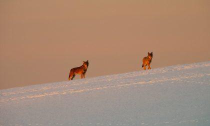 Le meravigliose foto dei lupi all'alba sulla neve a Valdiporro