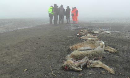 Animali selvatici uccisi: ad avvelenare il mais è stato un 80enne