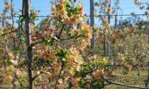 """Gelata eccezionale nelle campagne Veronesi, Coldiretti: """"A breve la verifica dei danni"""""""