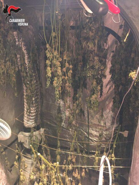 """Valpolicella a tutta erba, scoperta """"casa serra"""" con chili di marijuana: """"Serve ad aromatizzare il burro"""""""