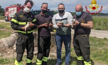 Cuccioli di pochi giorni abbandonati in un canale di cemento, salvati dai pompieri
