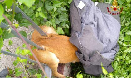Le foto del giovane capriolo rimasto incastrato nella ringhiera a Lavagno