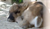 Le foto e il video del piccolo di renna nato al Parco Natura Viva