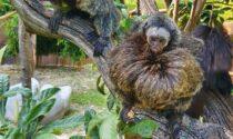 Il tenero video dei saki dalla faccia bianca a due mesi di vita al Parco Natura Viva