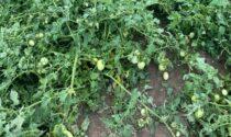 Maltempo, ancora danni alla colture: fortemente colpiti tabacco, mais e ortaggi,