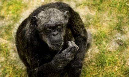 Saluta il suo compagno di vita e si addormenta per sempre: l'addio straziante della scimpanzé Judy