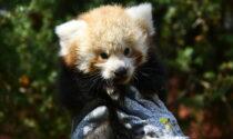 """""""Debutto"""" fuori dal nido con due mesi di anticipo per il cucciolo di panda rosso"""