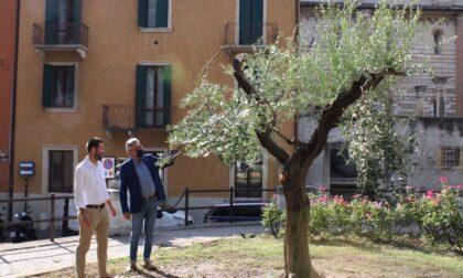 Verona, recuperato storico ulivo in centro destinato all'eliminazione