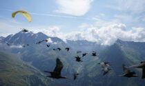 Le meravigliose foto della 14esima migrazione degli ibis eremita guidata dall'uomo