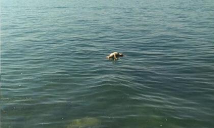 Cane ucciso nel lago di Garda: aveva delle pietre legate al collo