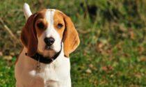 """Sperimentazione sui Beagle, Bocchi: """"Chiesto all'Ulss di vigilare sul rispetto della legge"""""""